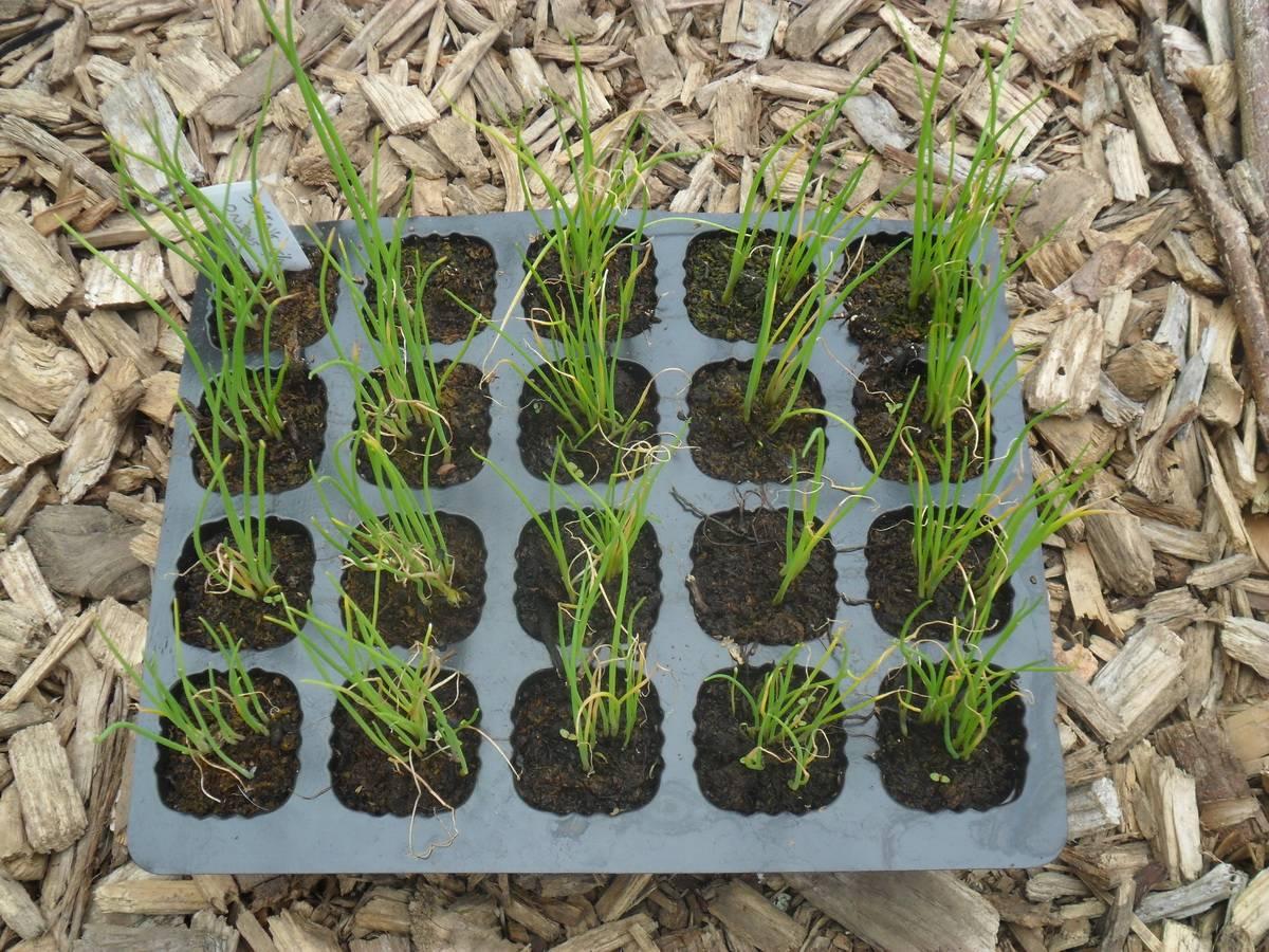 Лук-порей: выращивание из семян, рассады, сроки и правила