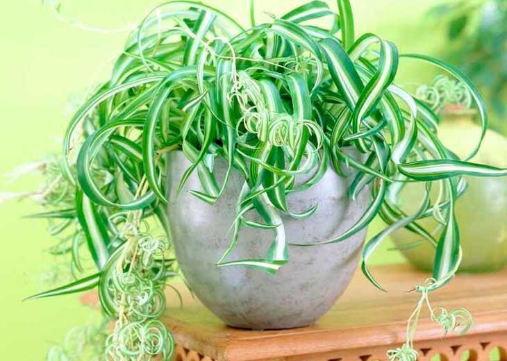 Сорта и виды хлорофитума для комнатного выращивания