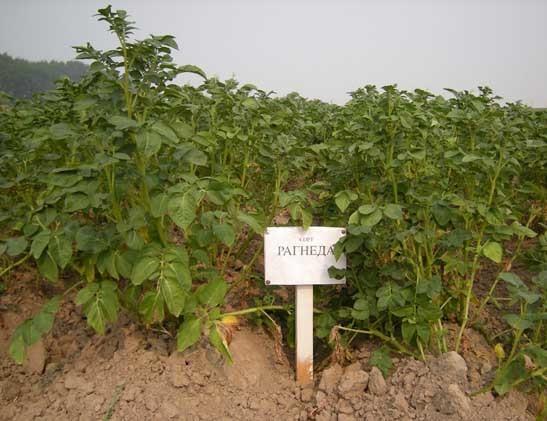 Картофель рогнеда - особенности выращивания, достоинства и недостатки культуры