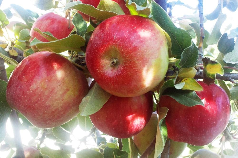 Яблоня джонаголд: описание сорта, фото, отзывы садоводов