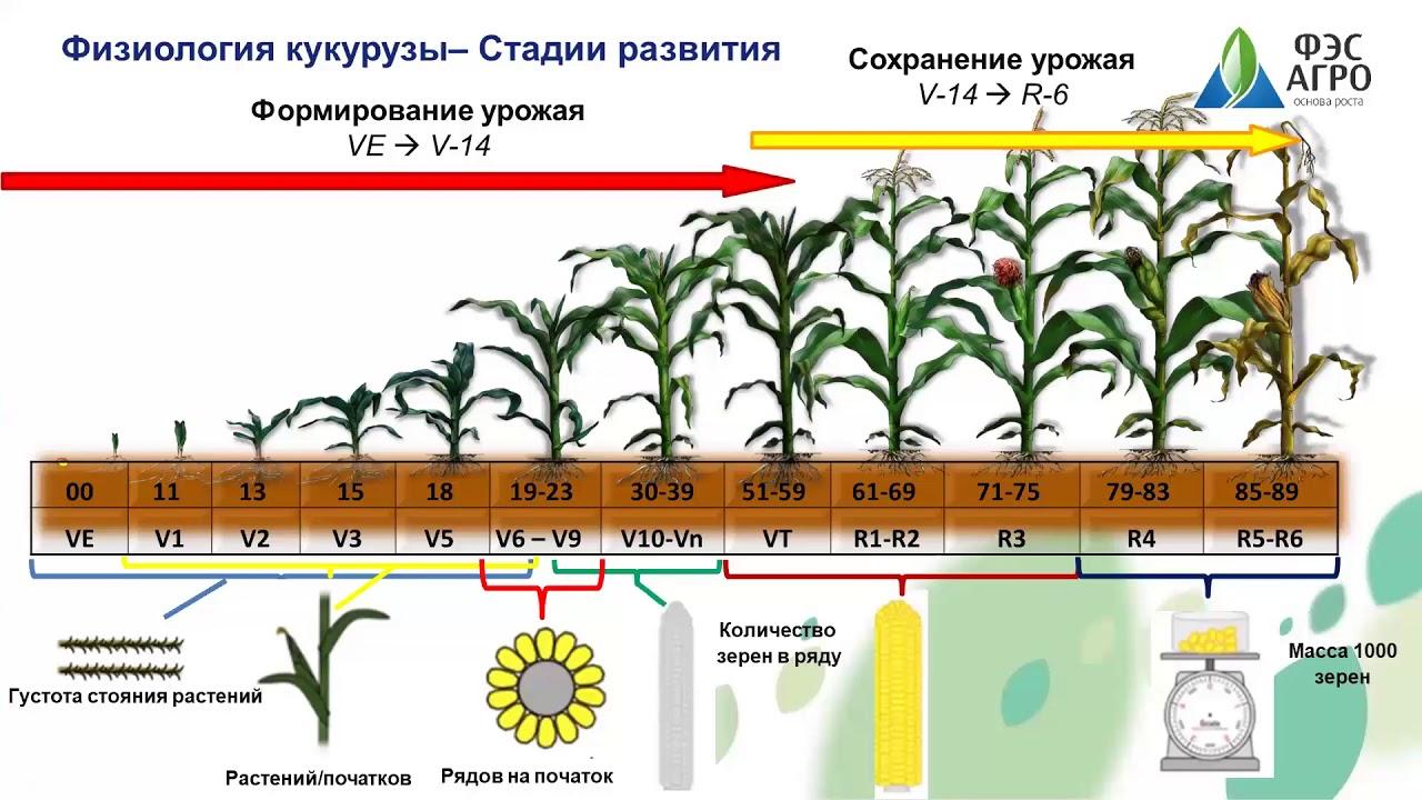 Возделывание кукурузы: инструкции и рекомендации по нормам высева, посадке и уходу за культурой