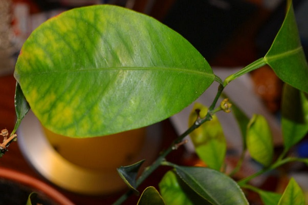 Почему у мандарина опадают листья, сохнут и желтеют, что делать, если комнатный мандарин сбросил все листья