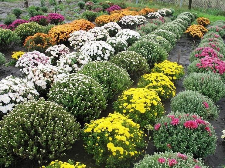 Хризантема мультифлора: 50 фото, ? виды и сорта, как ухаживать