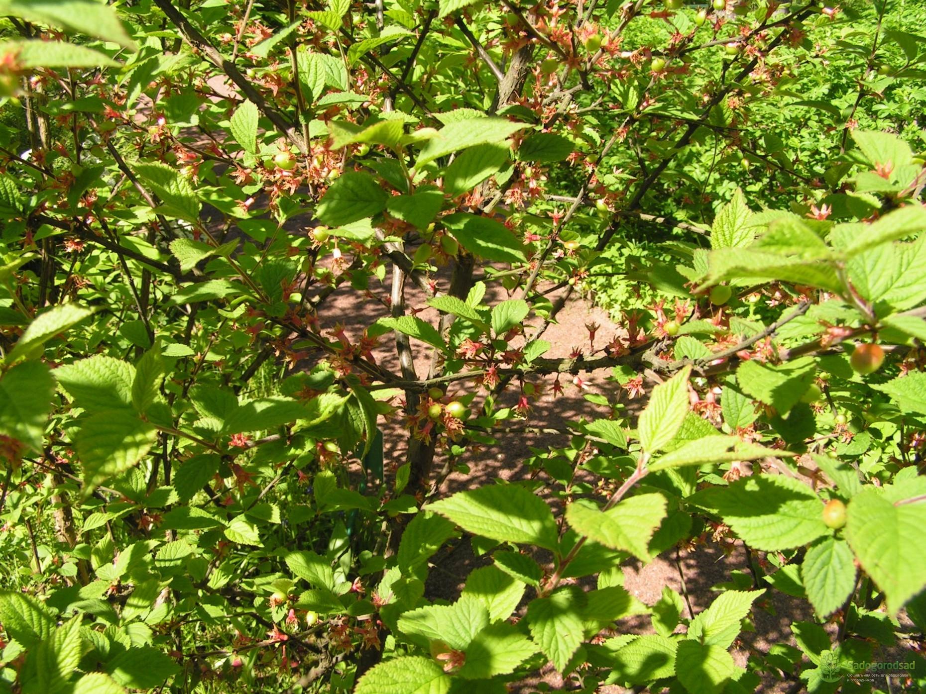 Признаки и лечение болезней войлочной вишни, борьба с вредителями