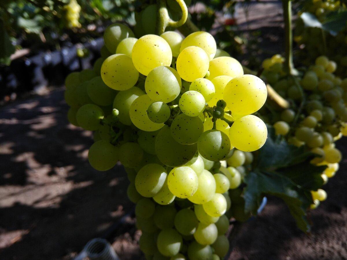 Виноград дамские пальчики: описание сорта, фото, отзывы