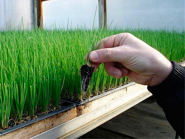 Лук чернушка: сроки посева на рассаду, выращивание и уход