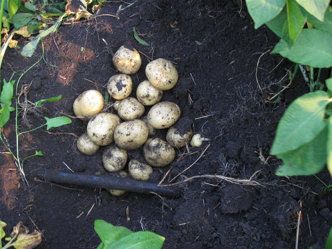 """Картофель """"елизавета"""": описание сорта, характеристики, фото, особенности ухода русский фермер"""