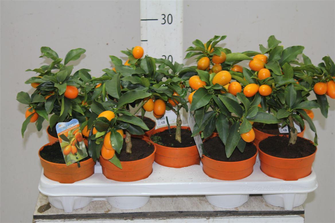 Апельсиновое дерево - выращивание и уход в домашних условиях