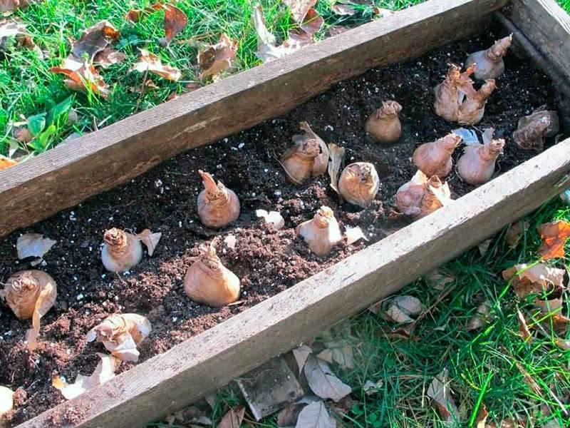 Когда и как посадить тюльпаны осенью