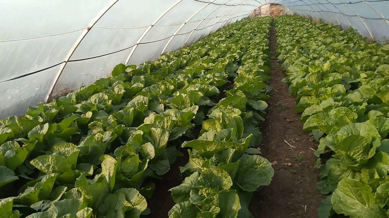 Секреты, как вырастить отличный урожай пекинской капусты в открытом грунте
