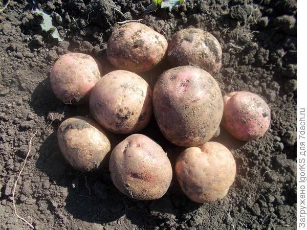 Описание сорта картофеля утро ранее