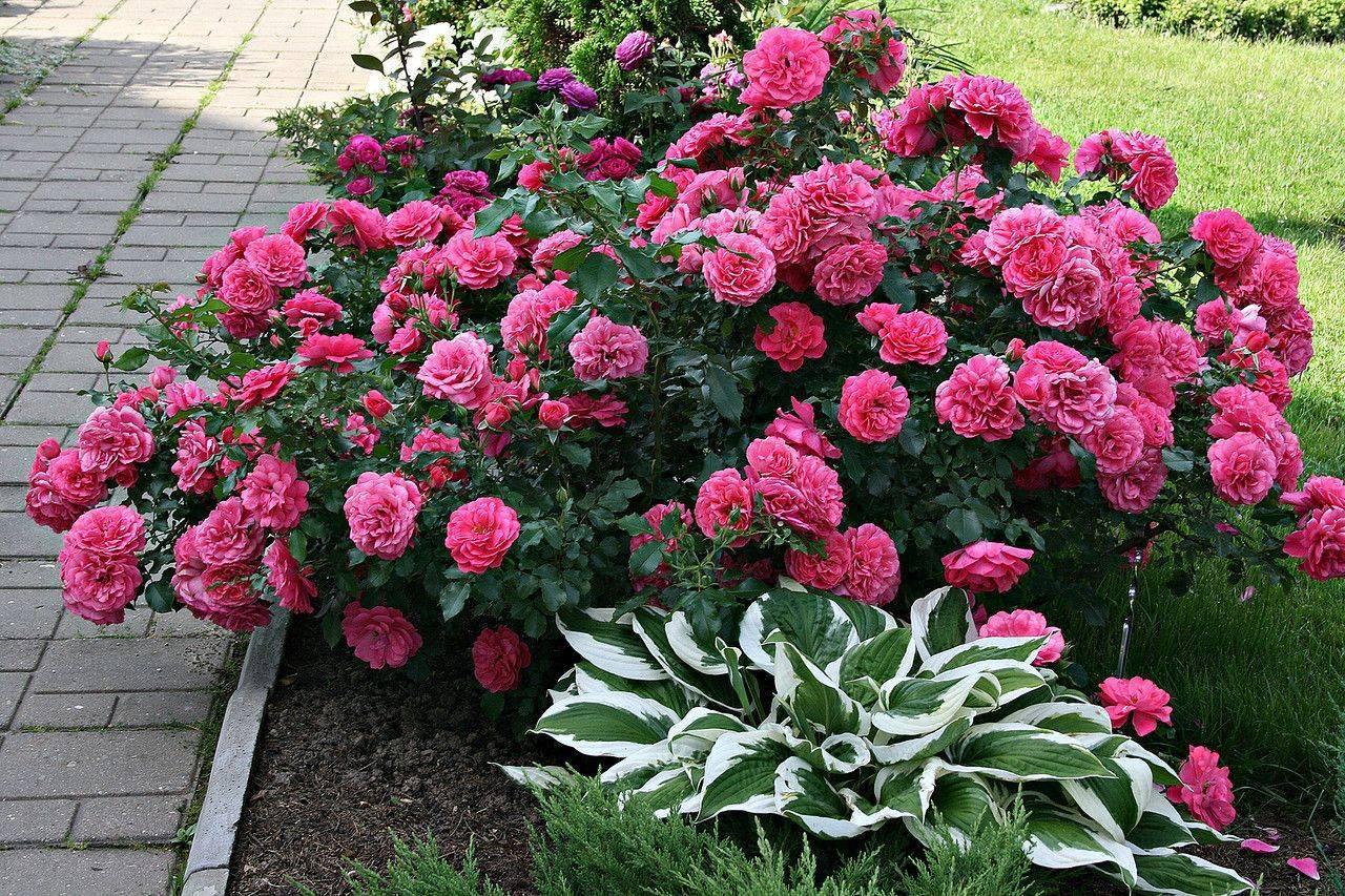 Изысканная и элегантная роза розариум ютерсен на даче: от посадки до дизайна