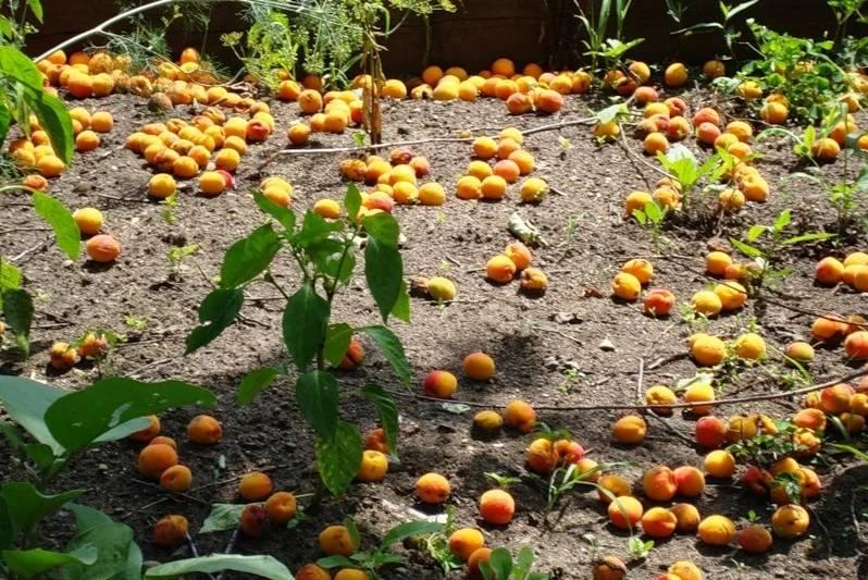 Вредители и болезни абрикоса. меры борьбы | огородники
