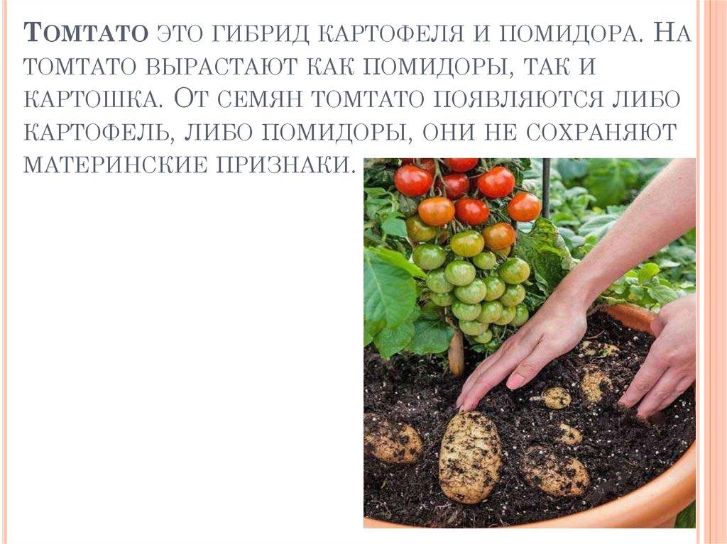 Описание скрещенного сорта растения помидофель и его выращивание