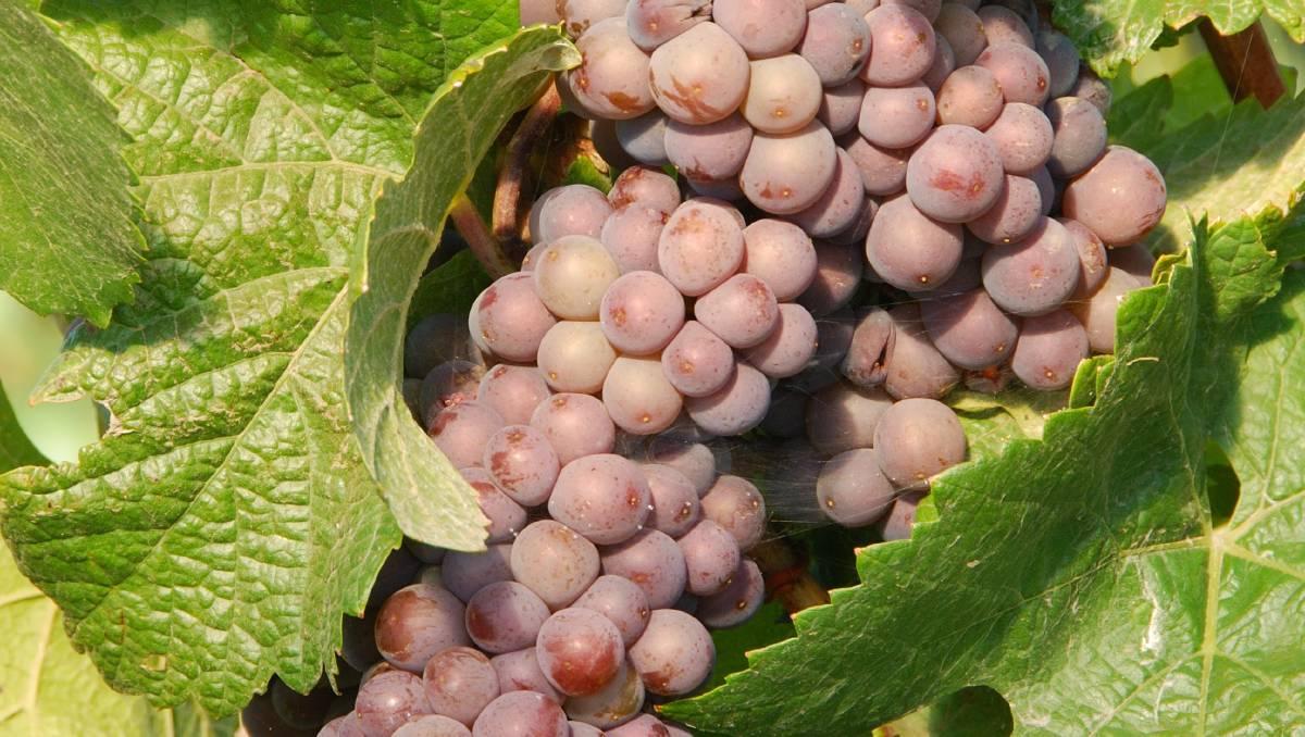 Виноград «пино»: разновидности сорта и правила выращивания