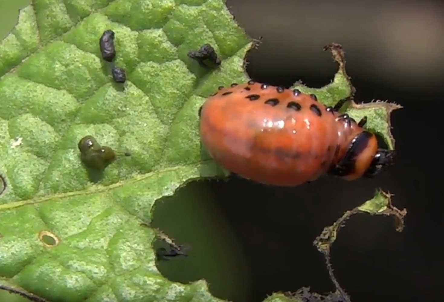 Кто ест колорадского жука – прикормленные домашние птицы