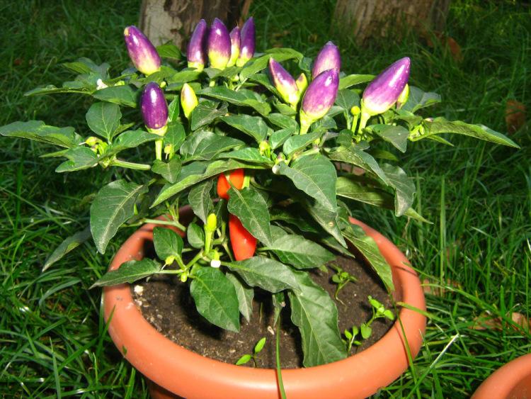 Декоративный перец «маленькое чудо»: выращивание в теплице