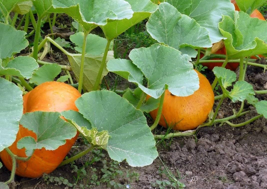 Тыква: выращивание на огороде, сорта