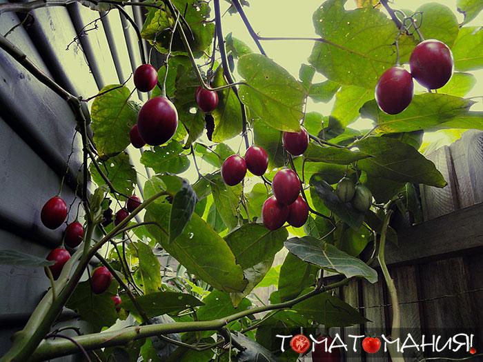 Секреты агротехники при выращивании тамарилло