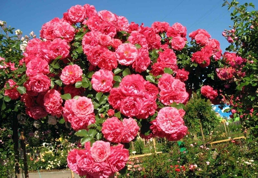 Роза плетистая «розариум ютерсен»: описание сорта, фото и отзывы