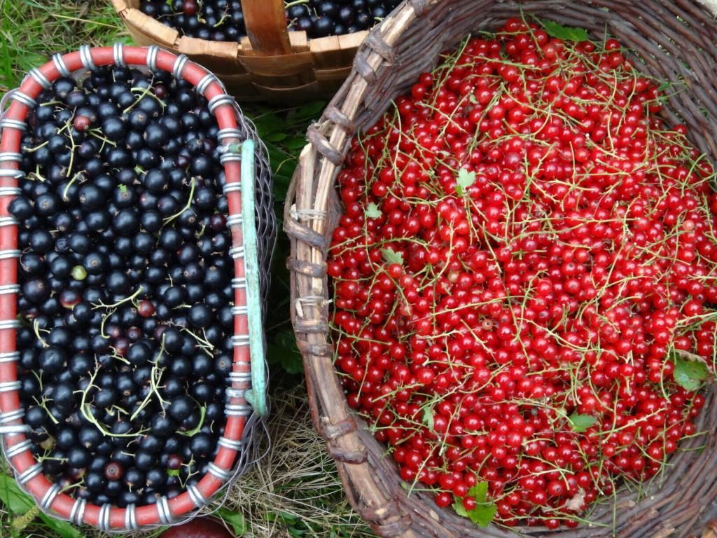 Смородина: способы сбора, хранения и рецепты приготовления - наше фермерство