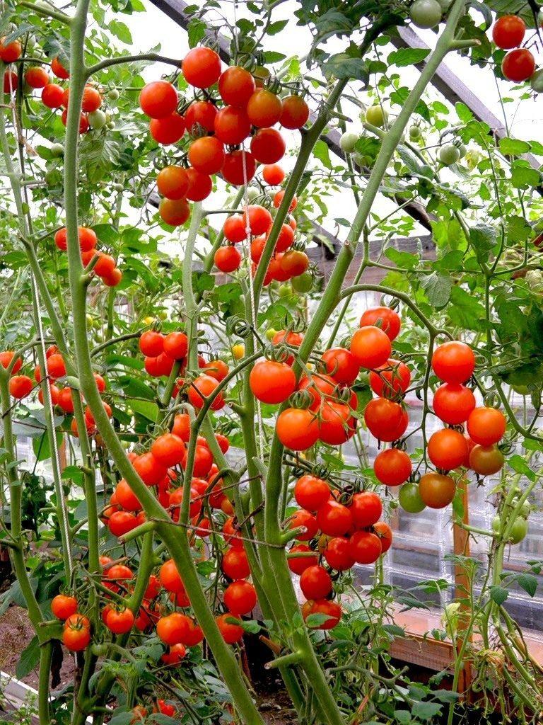 Помидоры (томаты) черри: выращивание и уход в теплице, пасынкование