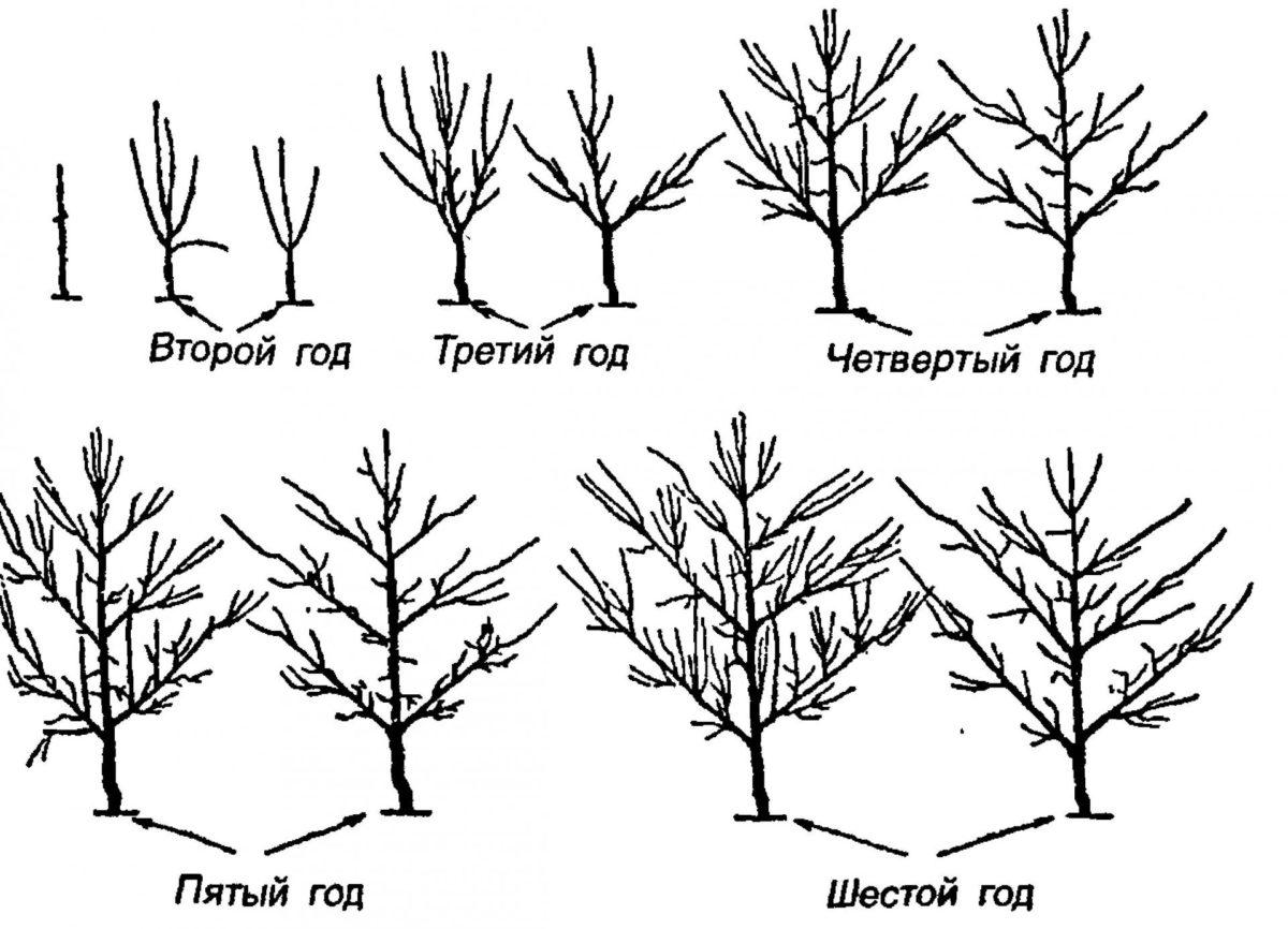 Посадка калины и уход за ней: обрезка. как пересадить и ухаживать на даче в открытом грунте? как вырастить декоративную калину?