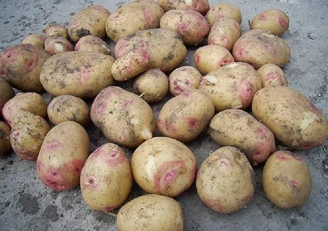 """Картошка сорта """"иван да марья"""" - характеристики и отзывы"""