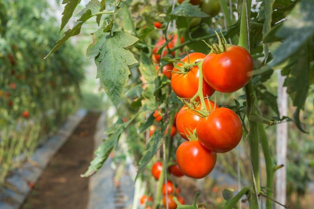Чили помидоры – характеристика и описание сорта, выращивание с фото