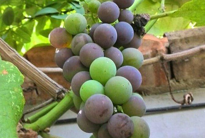 Чем подкармливать виноград в августе во время наливания для созревания и сладости ягод подкормки весной летом и осенью