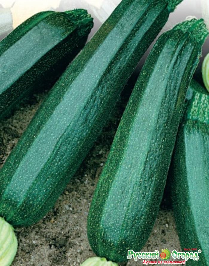 Всё о выращивании кабачка цукеша