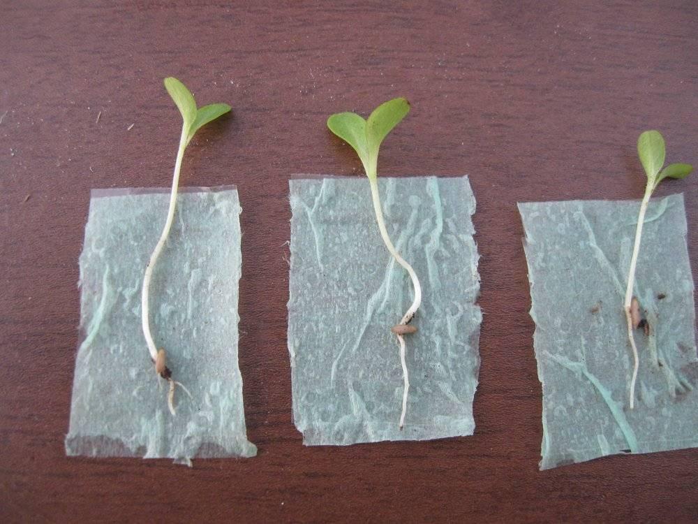 Как посеять и вырастить рассаду помидоров на туалетной бумаге