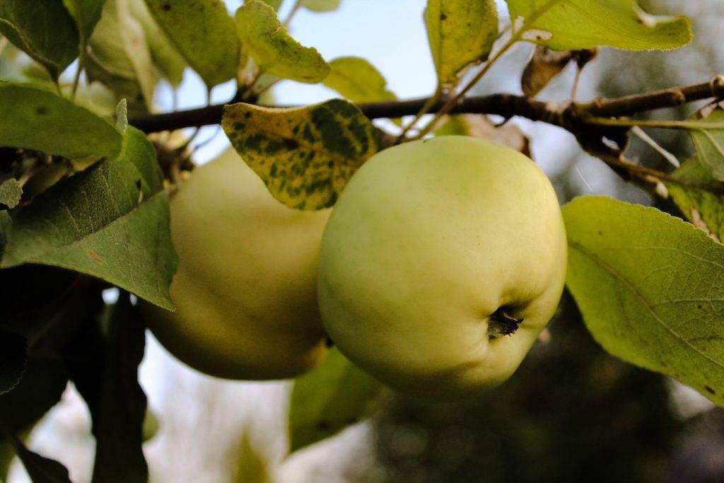 Описание сорта яблони конфетное: фото яблок, важные характеристики, урожайность с дерева