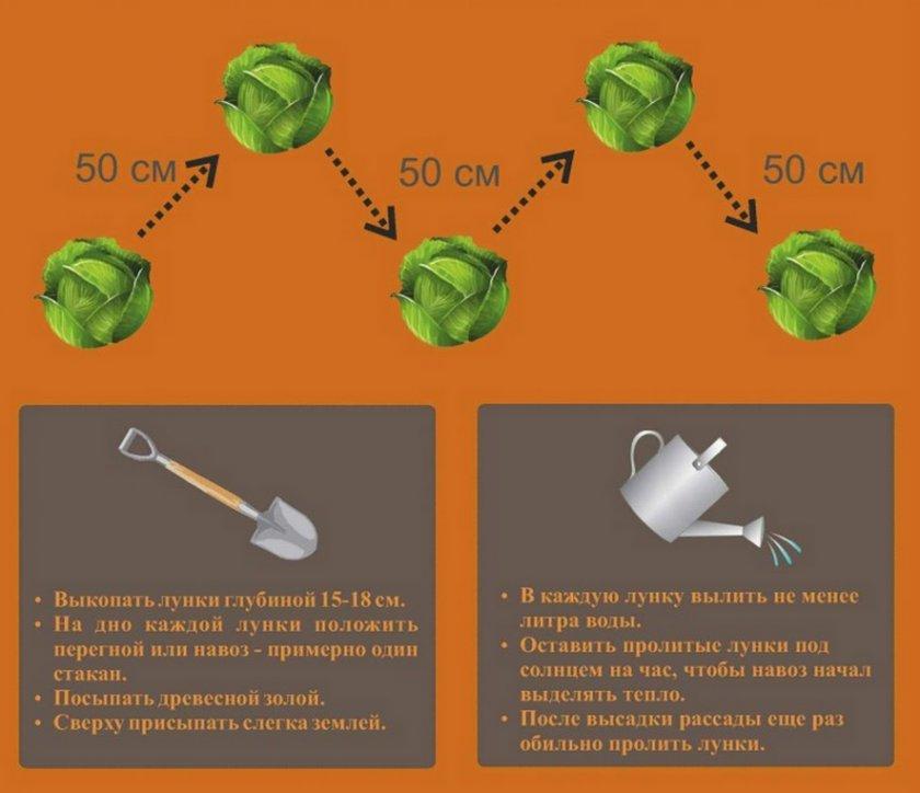 Посадка капусты: технология выращивания, как правильно сажать в открытый грунт, фото