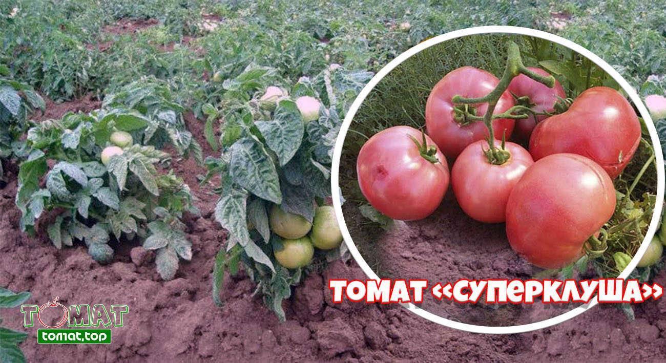 """Томат """"клуша"""": характеристика и описание урожайного сорта"""