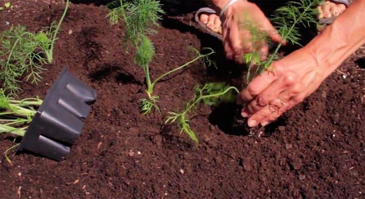 Популярно о выращивании фенхеля. инструкция по размножению семенами и рассадой