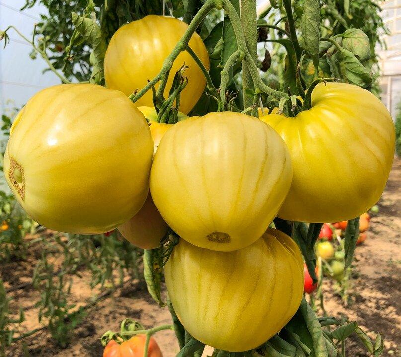 Сорта желтых томатов   tomatland.ru
