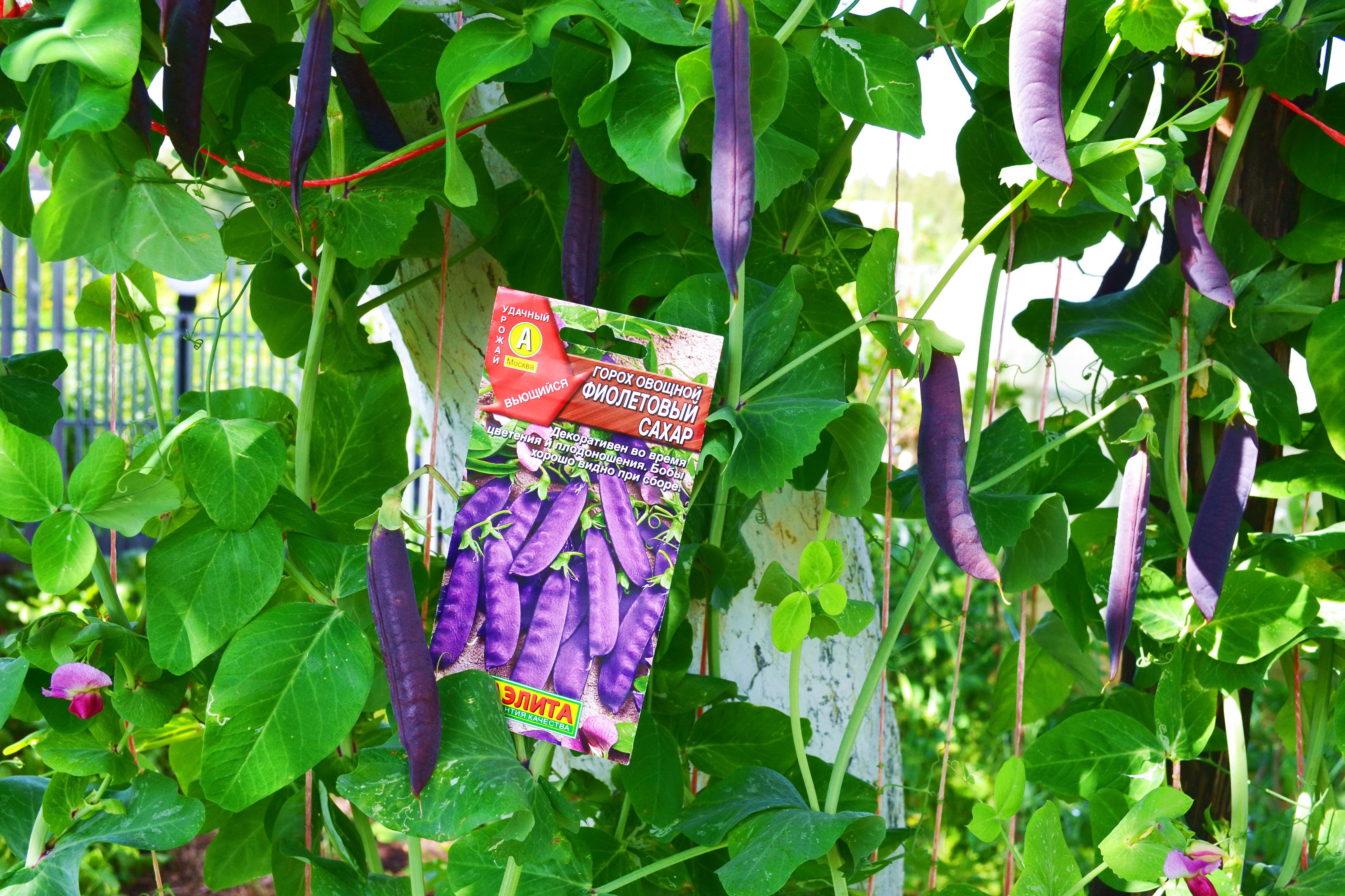 Горох: посадка и уход в открытом грунте, фото, размножение, сорта и выращивание
