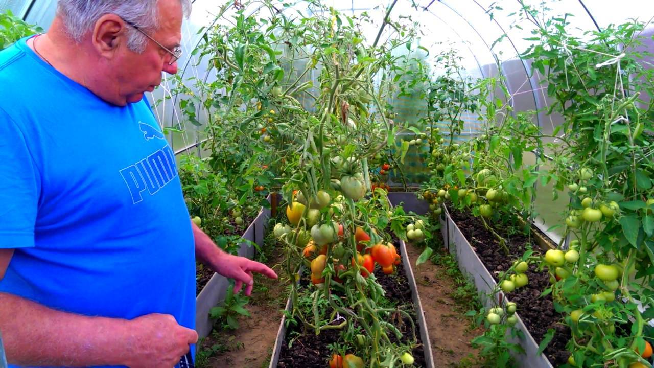 Томатов много не бывает: агротехника выращивания помидоров в теплице