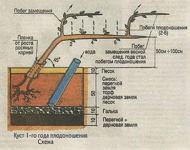 Выращивание винограда в средней полосе россии: технология, советы для начинающих, уход, фото