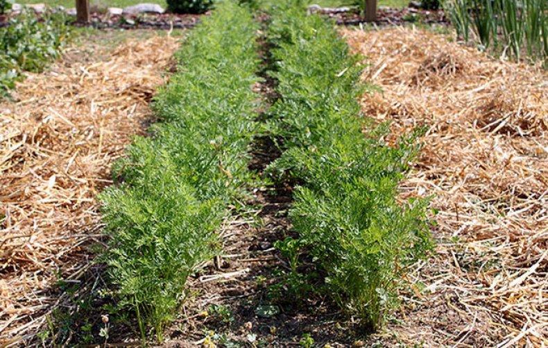 Можно ли скошенной травой мульчировать капусту и чем еще проводить