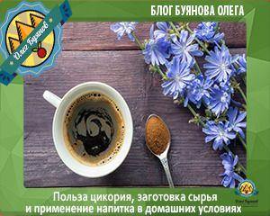 Корень цикория — когда собирать, как сушить, как приготовить напиток из корней
