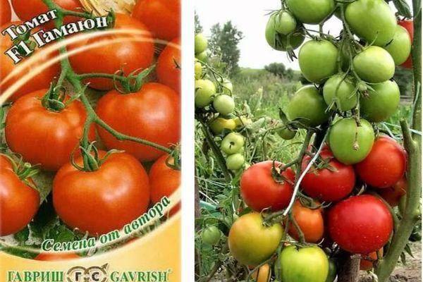Описание томата Гамаюн, урожайность и потребительские свойства