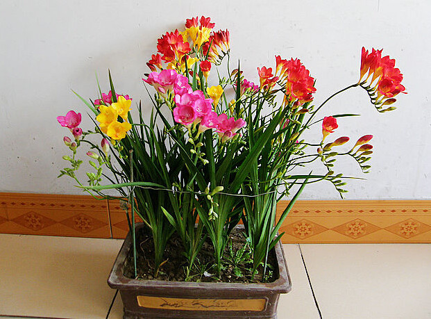 Фрезия махровая: описание,выращивание,уход,размножение,фото,видео.   растюнька