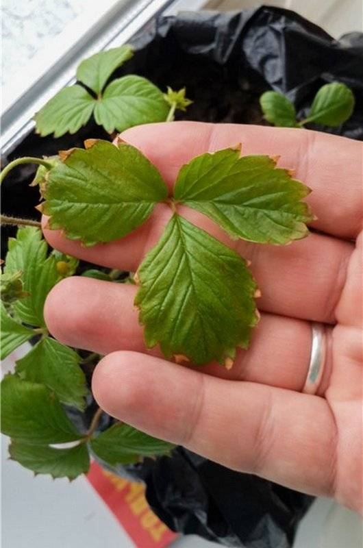 Что делать, если у клубники скручиваются листья?