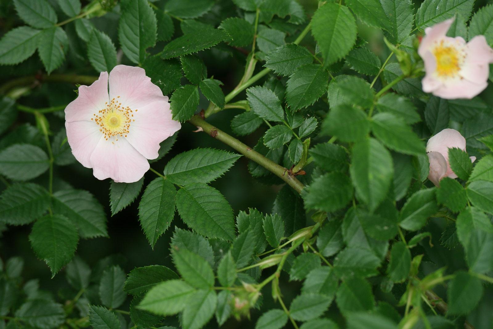 Шиповник собачий (роза канина): описание внешнего вида и лечебных свойств