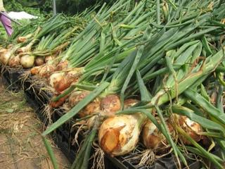 Когда убирать лук севок с грядки в открытом грунте на хранение, сроки созревания и сушка