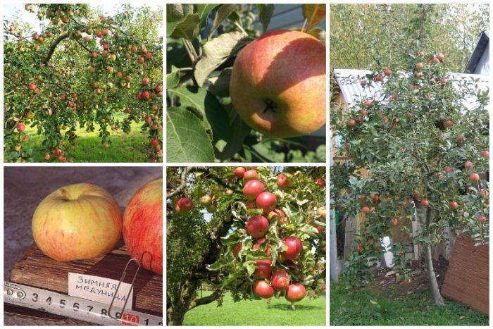 Яблоня солнышко: особенности сорта и ухода