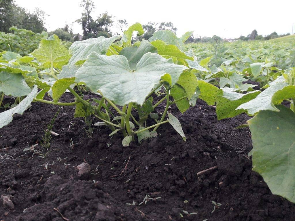 Выращивание огурцов в ленинградской области: сорта, когда сажать, отзывы