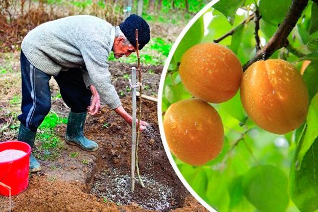 Сорта персиков для подмосковья, крыма, средней полосы россии: самоплодные, морозоустойчивые, названия с фото и описанием, отзывы